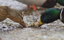 Kaip paukščiai šventė meilės dieną? Gabrieliaus Khiterer nuotr.
