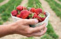 Литовская клубника на рынках появится скоро, но цены не порадуют