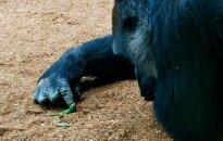 В зоопарке США застрелили гориллу с ребенком на руках