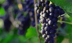 В Кирове уничтожили виноград из Литвы