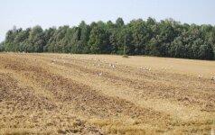 Gandrai Šalčininkų rajono laukuose
