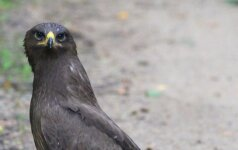 В Рокишкском районе женщина зафиксировала редкую птицу