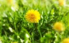Kiaulpienės – salotoms, medui ir vaistams