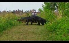 Видео с гигантским аллигатором вызвало ажиотаж в заповеднике во Флориде