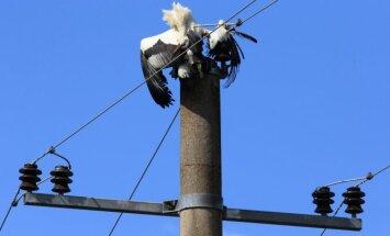 Baltasis  gandras ant elektros perdavimo linijų atramos