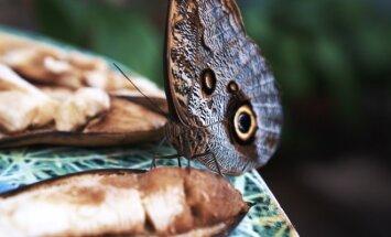 VDU Kauno botanikos sodo oranžerijos drugeliai