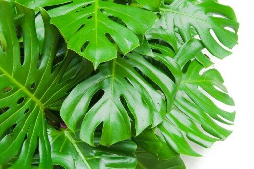 Kaip kambariniai augalai gali koreguoti jūsų savijautą ir net likimą