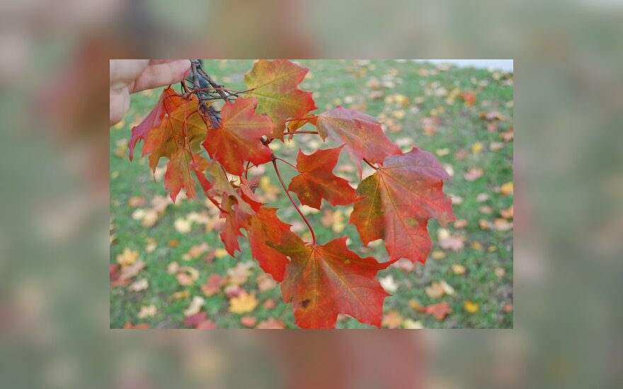 Ученые объяснили красный цвет осенних листьев паразитами