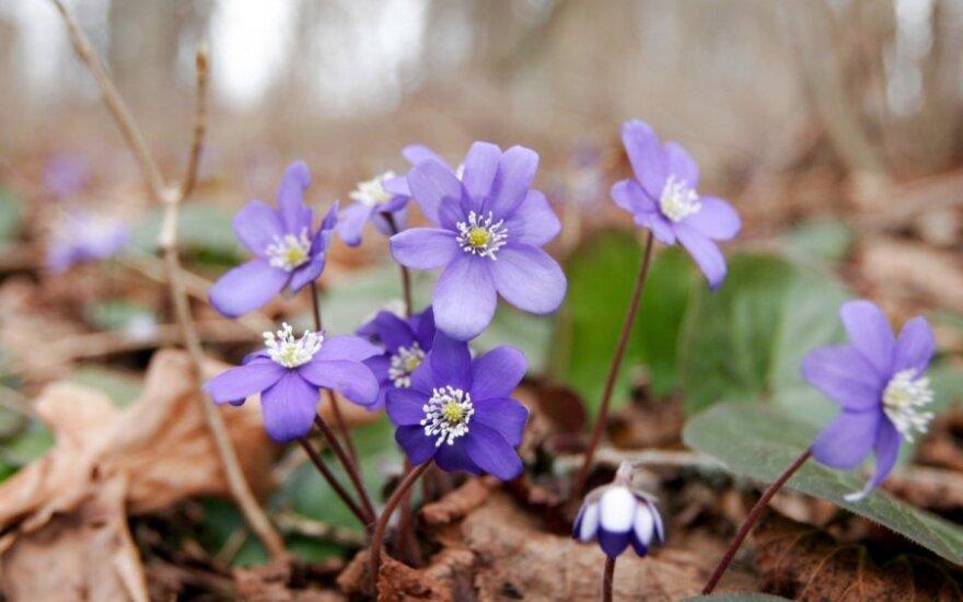 Pavasaris vilios žmones į miškus, tačiau įžengimas į kai kuriuos iš jų - draudžiamas