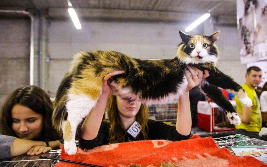 В Каунасе - шоу кошек экзотических пород