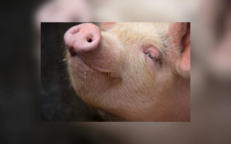 Из Литвы запрещен вывоз свиней