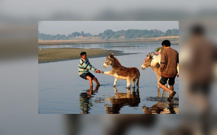 Индиец пытается заставить упрямого осла перейти через реку