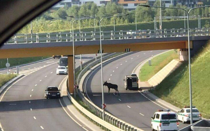 Жительница Вильнюса возмущена: службам наплевать на мечущееся на дороге животное