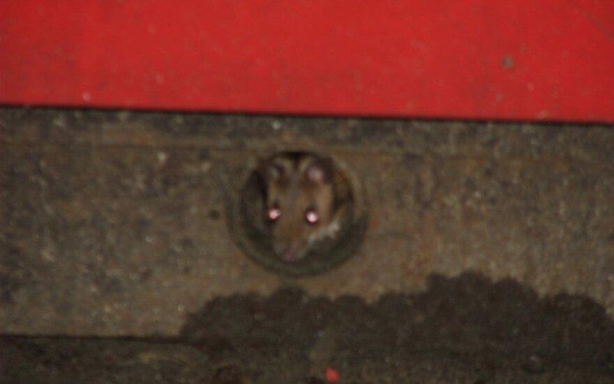 """Mysz w kiosku """"Lietuvos spauda"""""""