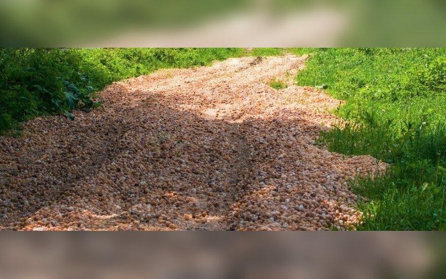 Taip atrodo kelias, užpiltas sraigių kiautais