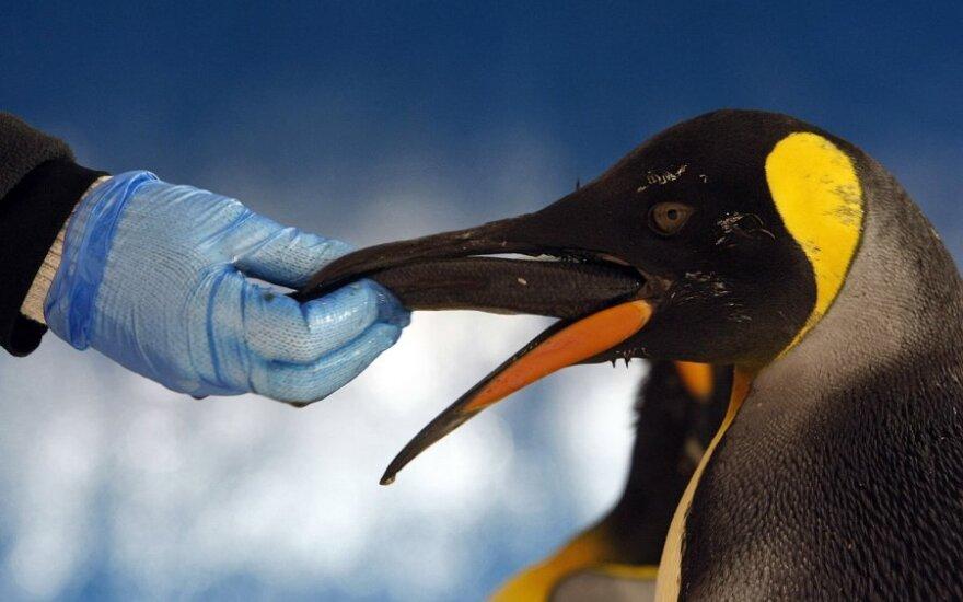 Argentyńscy naukowcy odkryli szczątki gigantycznego pingwina