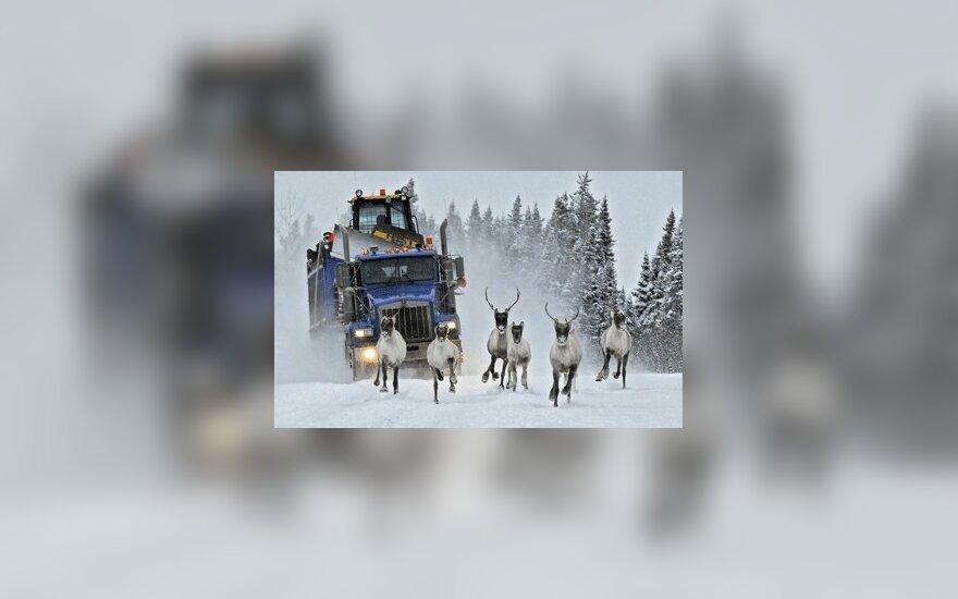Sunkvežimis važiuoja paskui šiaurinių elnių kaimenę