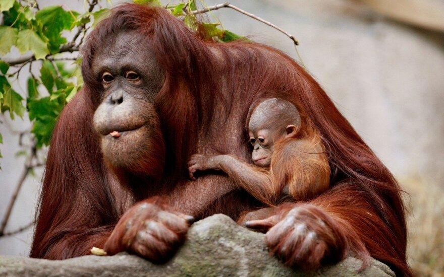 Orangutany planują podróż już dzień wcześniej