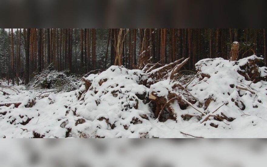 Varėnos r. kertamas miškas, A. Taraskevičiaus nuotr.