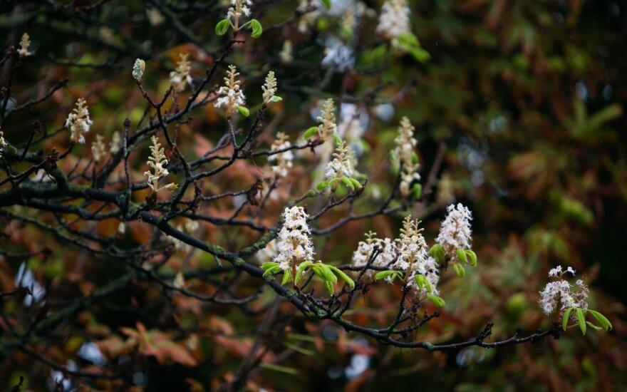 Жители Вильнюса удивлены: второй раз в этом году цветут каштаны