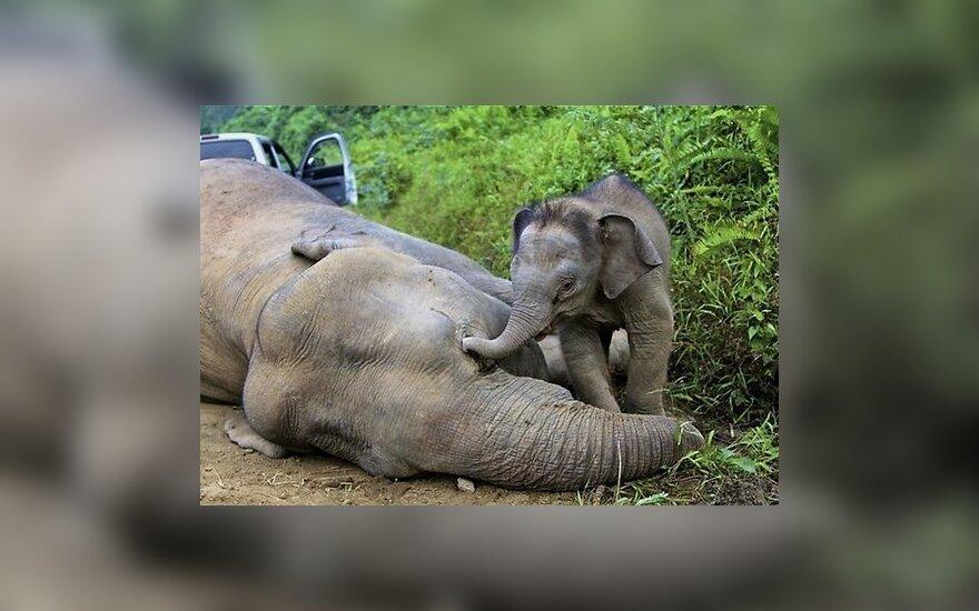 В Малайзии погибли от отравления редкие слоны-пигмеи