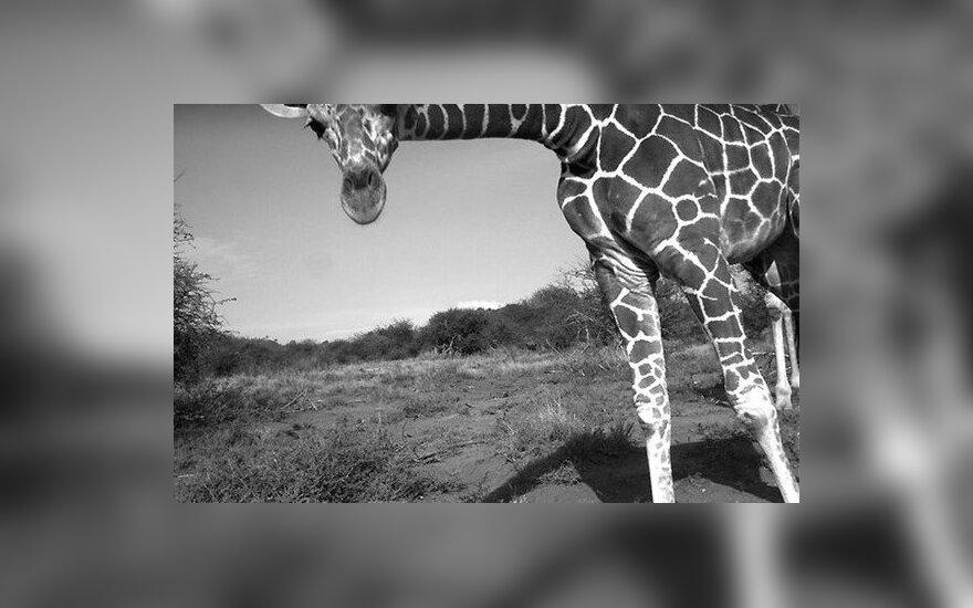 В датском зоопарке убит жираф: мясо скормят хищникам