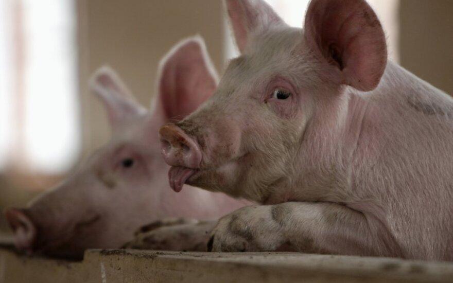 В Италии босса мафии и его зятя заживо скормили свиньям