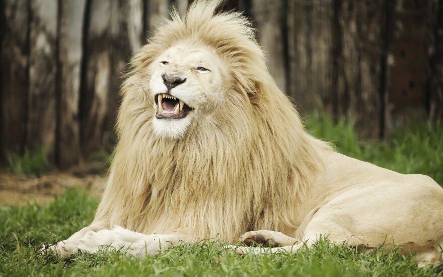 Liūtas
