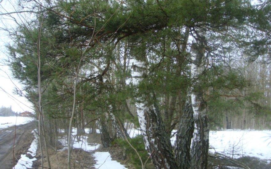 В Рокишском районе обнаружили разделанную тушу беременной лосихи