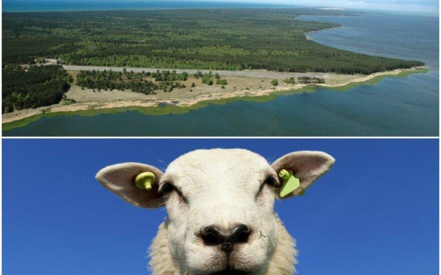 Bulvikio ragas ir avis (VSTT ir Shutterstock nuotr.)
