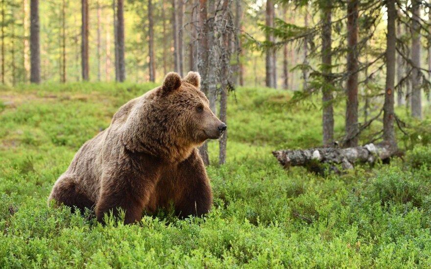 Тельшяйская мэрия предупреждает: возможно, в районе появился медведь