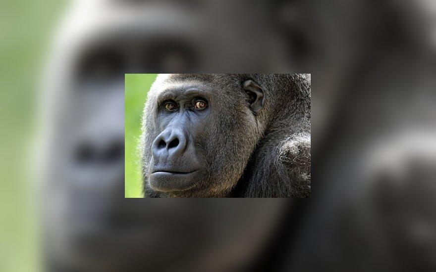 Африканские гориллы станут блогерами