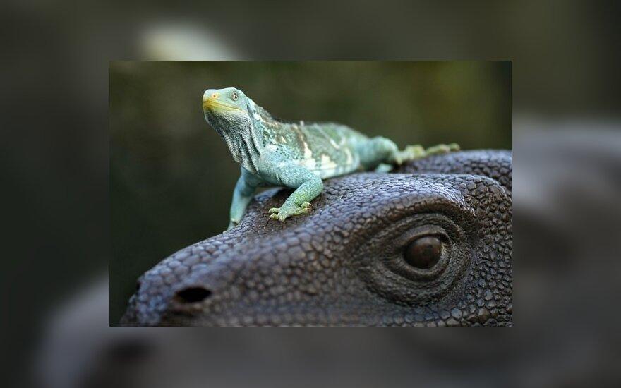 Iguana ir Komodo drakonas