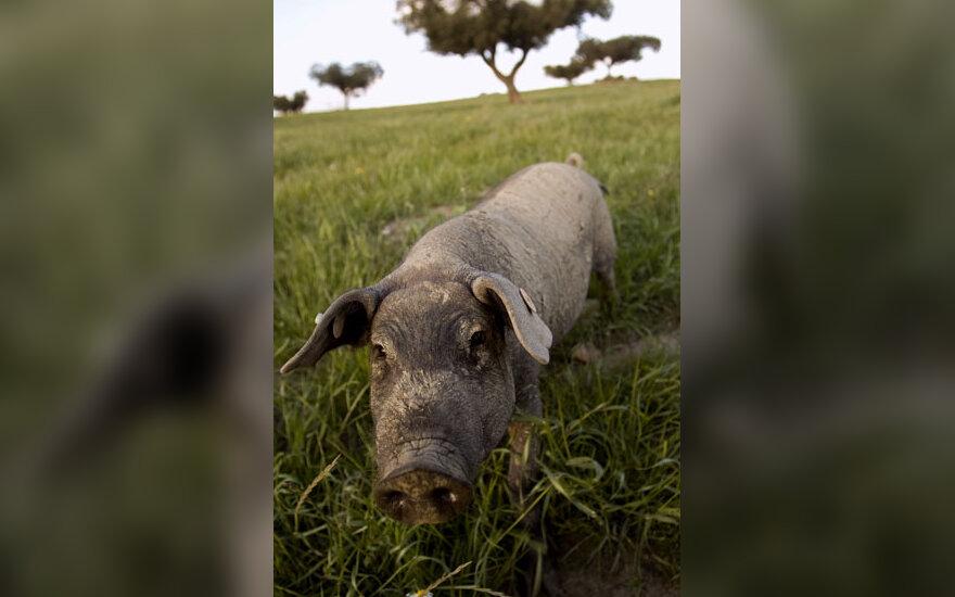 Kiaulė, žemės ūkis