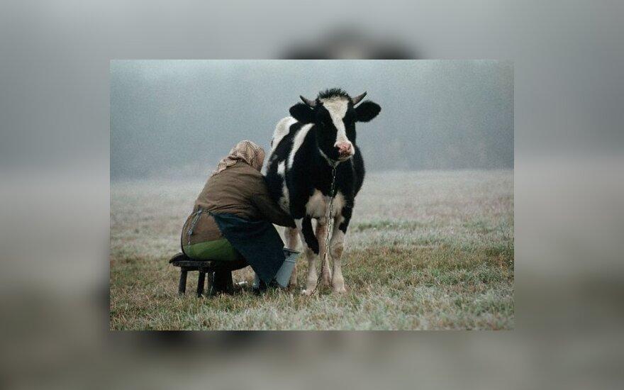 Дал сожительнице подоить корову - получил штраф