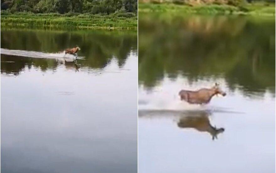 Briedis, bėgantis per vandenį