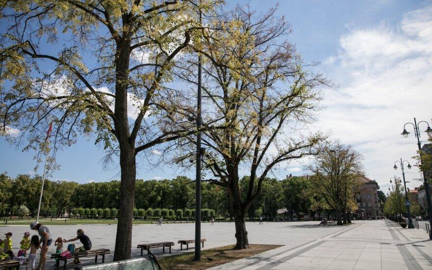 С лип на проспекте Гедиминаса в Вильнюсе осыпаются последние листья