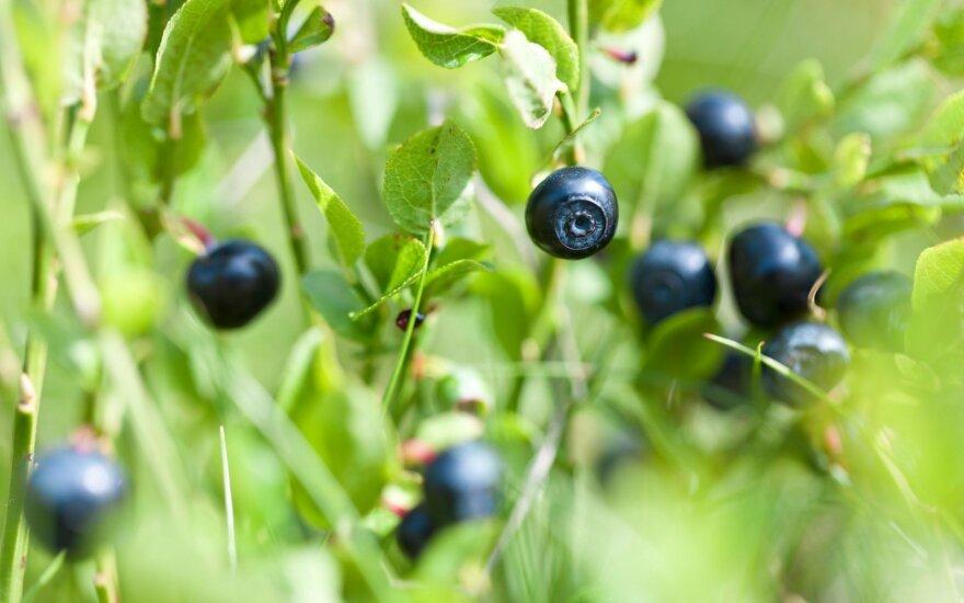 Плохие новости для любителей литовских ягод: в некоторые леса за ягодами можно не ходить