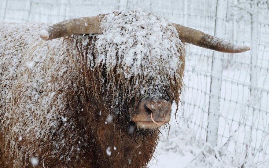 Mėsiniai galvijai žiemą