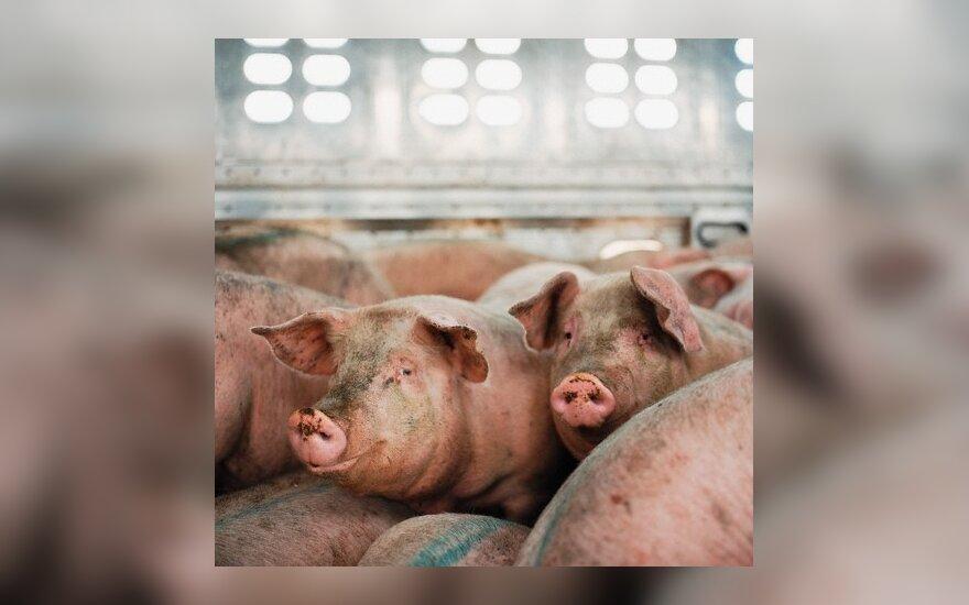 На датской свиноферме в Паневежском районе – свиная чумка