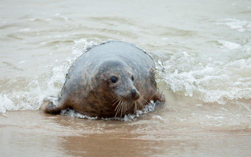 В Литве к поискам вероятных убийц тюленей привлечены полиция и пограничники