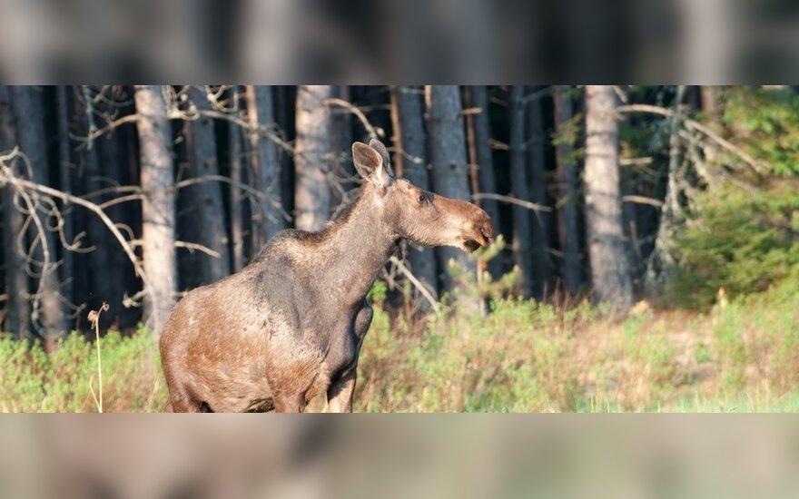 На дороге Вильнюс-Паневежис в автомобиль латышки врезался молодой лось