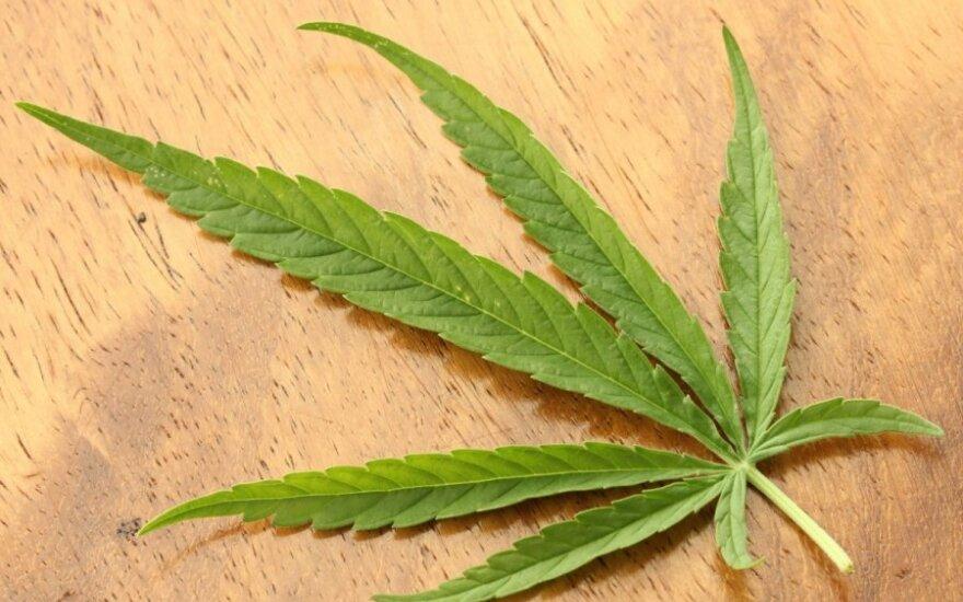 Sėjamoji kanapė (Cannabis sativa) / JonRichfield nuotr. (CC-SA)