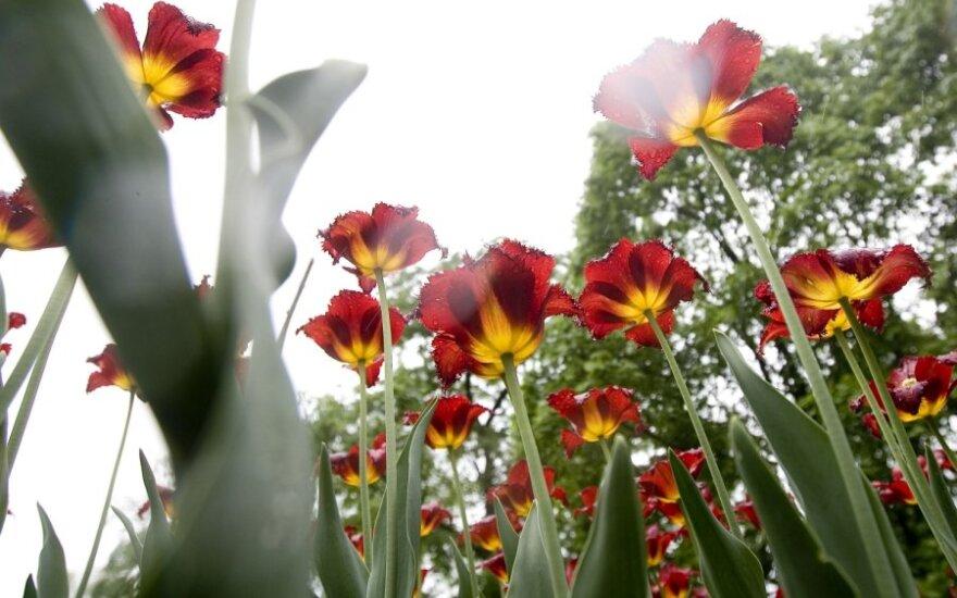 Тюльпаны в ботаническом саду Вильнюса