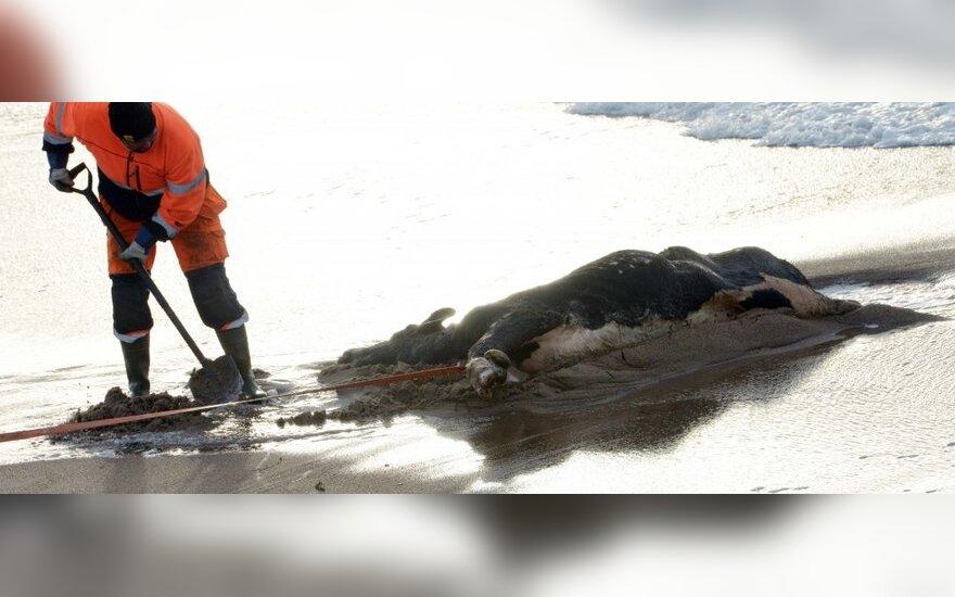 Negyvos karvės Danijos pakrantėje