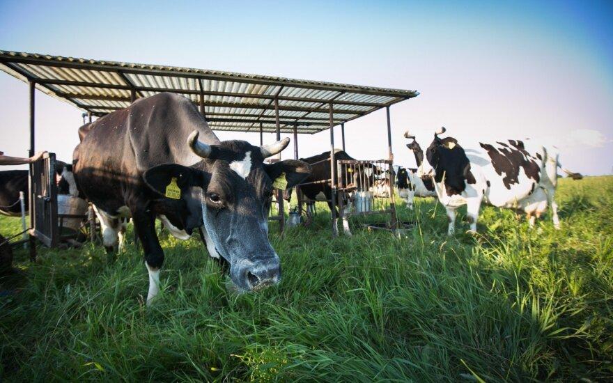 ВИДЕО: Игривые коровы стали героинями СМИ