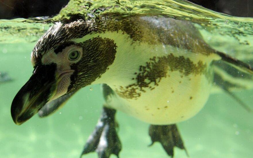 Ученые сняли ВИДЕО охоты пингвинов