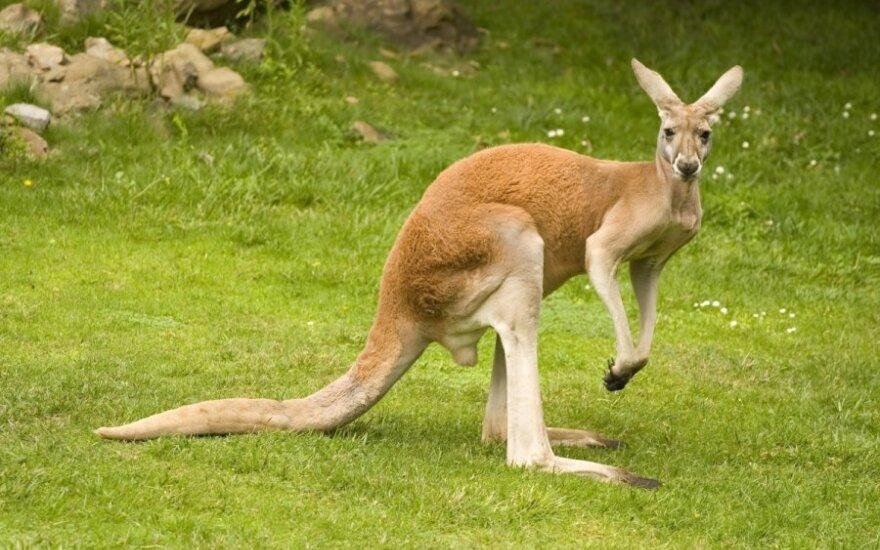 ВИДЕО: Отдыхающий под солнцем кенгуру умилил соцсети
