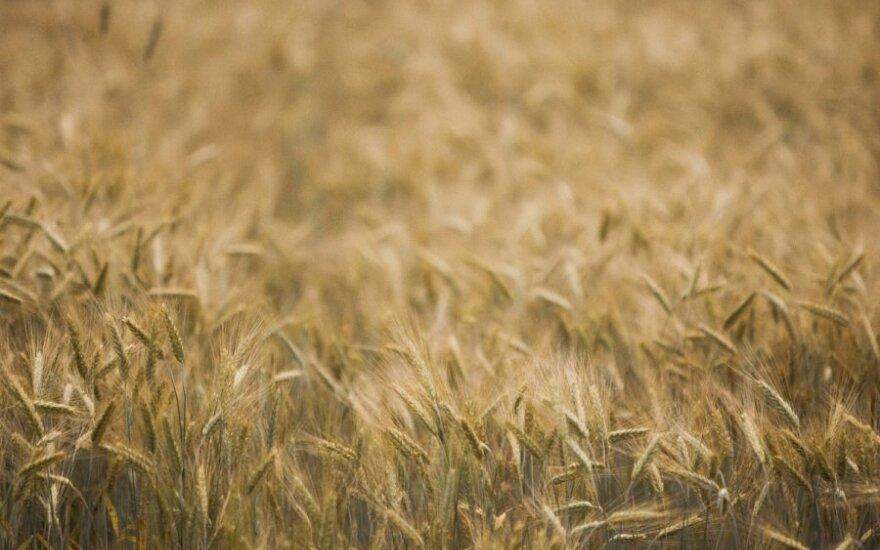 В этом году ожидается рекордный урожай зерновых