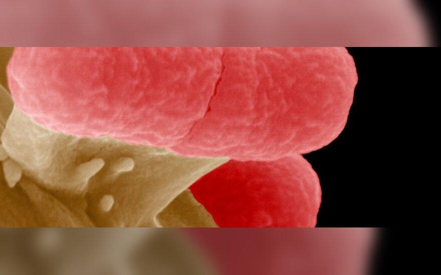 Escherichia coli bakterija